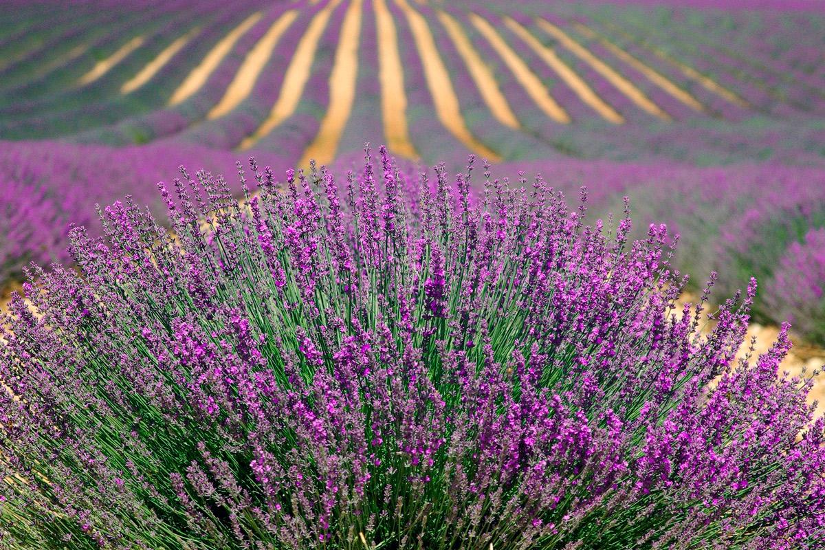cultivo de plantas aromáticas en España